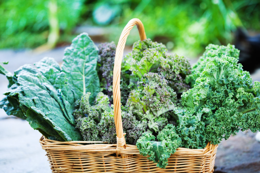 Several varieties of kale in a basket freshly harvested from a garden.